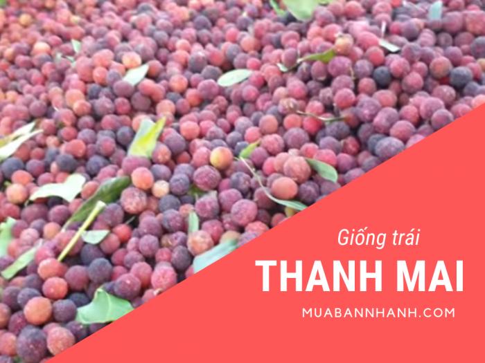 Mua bán cây thanh mai, cây giống thanh mai trồng chậu tại nhà từ nhà vườn tại Cần Thơ, Quảng Ninh, Quảng Bình, TPHCM, Hà Nội