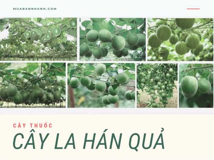 Tìm mua giống cây la hán quả số lượng lớn - giá mua sỉ la hán quả giống từ nhà vườn trên MuaBanNhanh