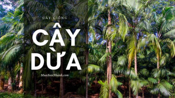 Cây dừa giống trên MuaBanNhanh