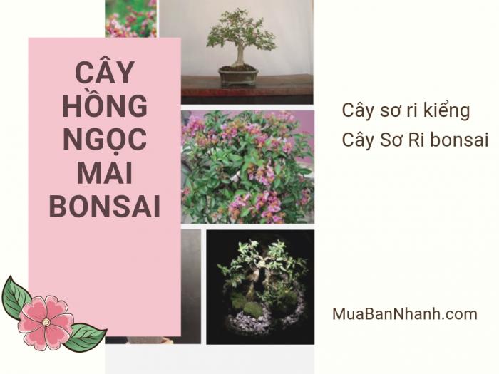 Cây hồng ngọc mai bonsai - cây Sơ ri kiểng, cây Sơ Ri bonsai đẹp trên MuaBanNhanh