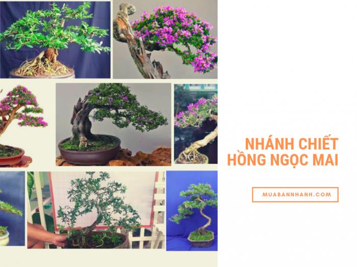 Mua bán nhánh chiết hồng ngọc mai bonsai - kinh nghiệm nhân giống cây hồng ngọc mai, giâm cành hồng ngọc mai từ nhà vườn trên MuaBanNhanh