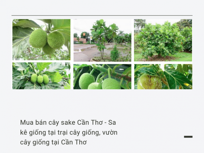 Mua bán cây sake Cần Thơ - Sa kê giống tại trại cây giống, vườn cây giống tại Cần Thơ