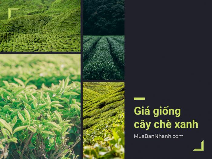 Giá giống cây chè xanh, mua giống cây trà xanh ở TPHCM trên MuaBanNhanh