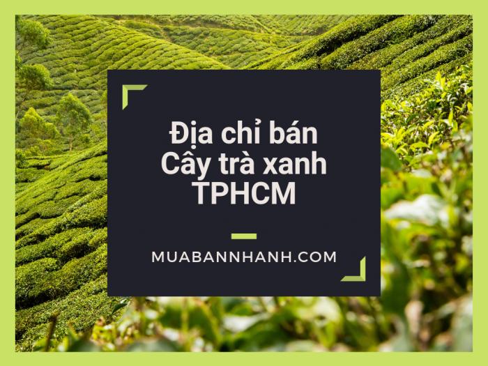 Địa chỉ bán cây trà xanh TPHCM, mua cây chè xanh tại TPHCM trên MuaBanNhanh