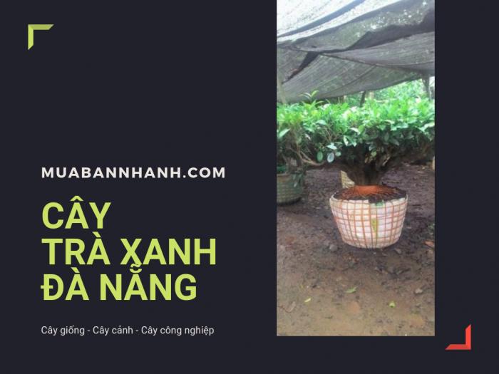Địa chỉ bán cây chè xanh Đà Nẵng, cây chè bonsai Đà Nẵng từ nhà vườn trên MuaBanNhanh