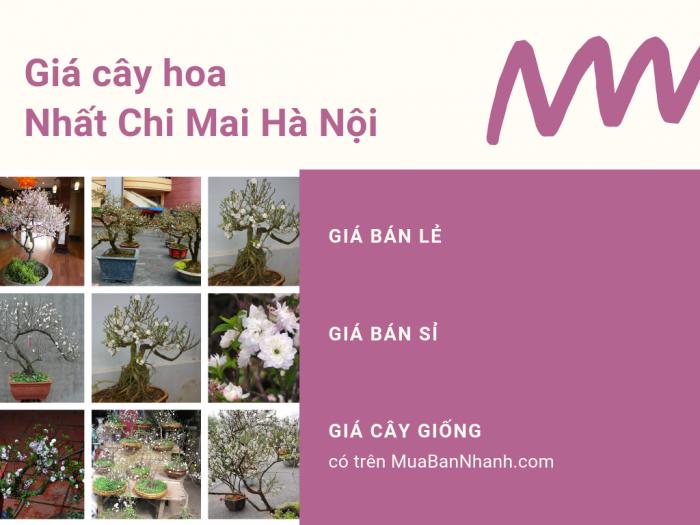 Mua nhất chi mai ở Hà Nội từ nhà vườn trên MuaBanNhanh