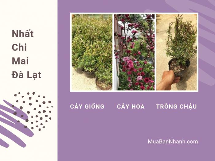 Giá cây hoa nhất chi mai Đà Lạt trên MuaBanNhanh