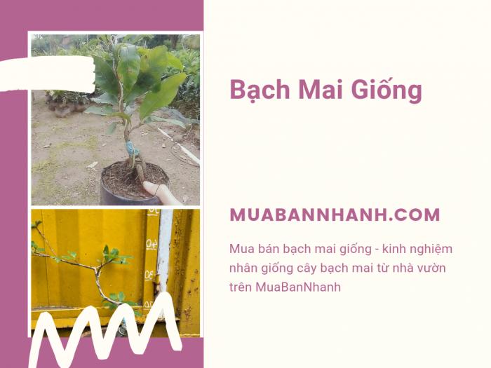 Mua bán bạch mai giống - kinh nghiệm nhân giống cây bạch mai từ nhà vườn trên MuaBanNhanh