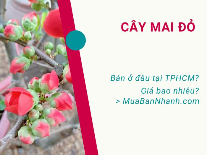 Cập nhật hoa mai đỏ giá bao nhiêu tại TPHCM trên MuaBanNhanh