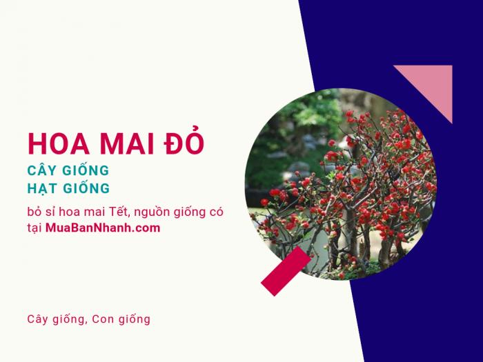 Bán cây giống hoa mai đỏ, hạt giống hoa mai đỏ cho nhà vườn trồng, bỏ sỉ hoa mai Tết, nguồn giống có tại MuaBanNhanh