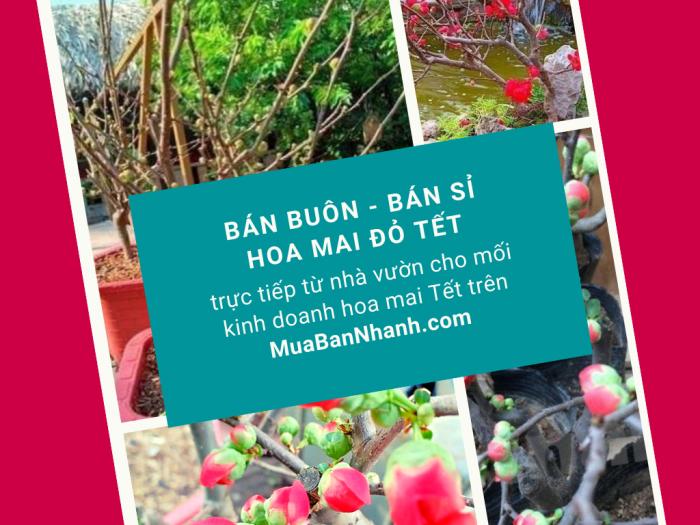 Bán buôn hoa mai đỏ, cây mai đỏ giá sỉ TPHCM trực tiếp từ nhà vườn cho mối kinh doanh hoa mai Tết trên MuaBanNhanh