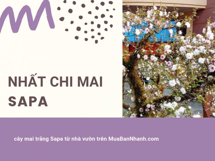 Mua bán cây hoa nhất chi mai Sapa - cây mai trắng Sapa từ nhà vườn trên MuaBanNhanh