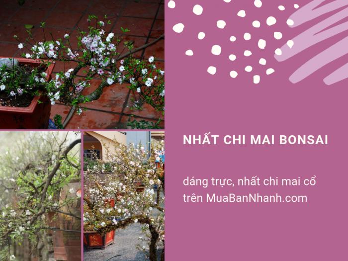 Mua bán nhất chi mai bonsai dáng trực, nhất chi mai cổ trên MuaBanNhanh