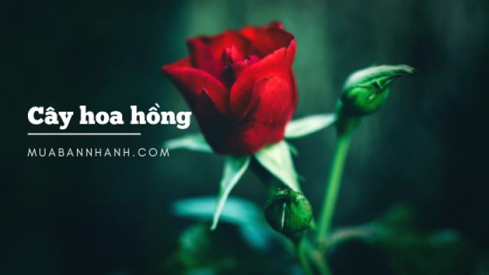 Làm giàu từ trồng hoa hồng