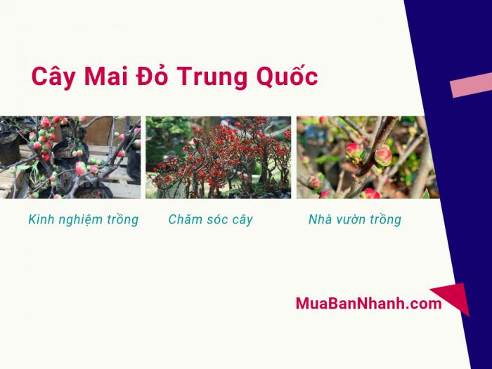 Mua bán cây mai đỏ Trung Quốc - kinh nghiệm trồng và chăm sóc từ nhà vườn trồng mai đỏ trên MuaBanNhanh