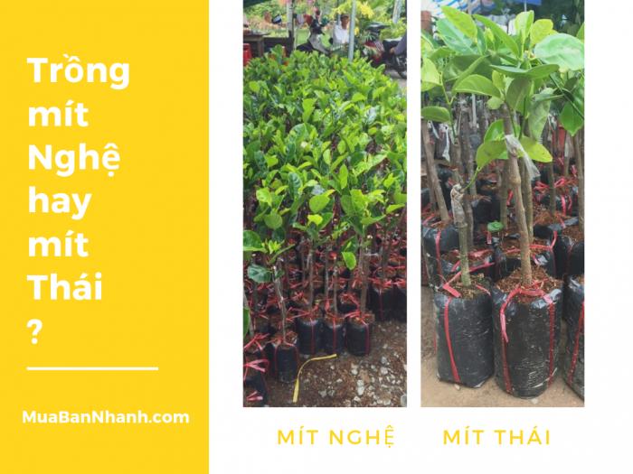 Nên trồng mít nghệ hay mít Thái? Cách chọn cây giống mít Thái, mít nghệ Việt Nam