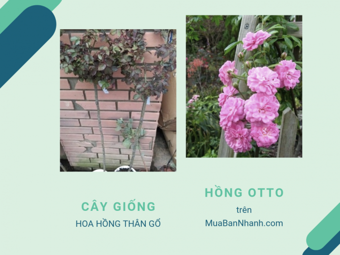 Hoa hồng Otto Line Rose - Cách trồng và chăm sóc hoa hồng thân gỗ Otto
