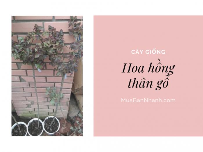 Giá cây hoa hồng thân gỗ Đà Lạt, Sapa, Pháp - giá bán hoa hồng thân gỗ Hà Nội trên MuaBanNhanh