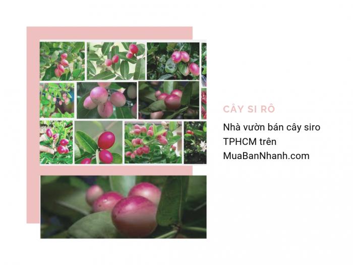 Nhà vườn bán cây siro TPHCM - Địa chỉ mua cây si rô giao hàng tận nơi