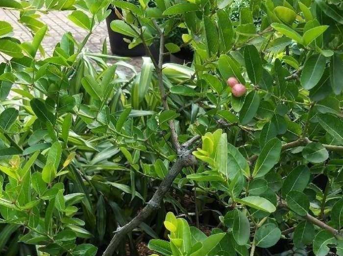 cây si rô trên MuaBanNhanh