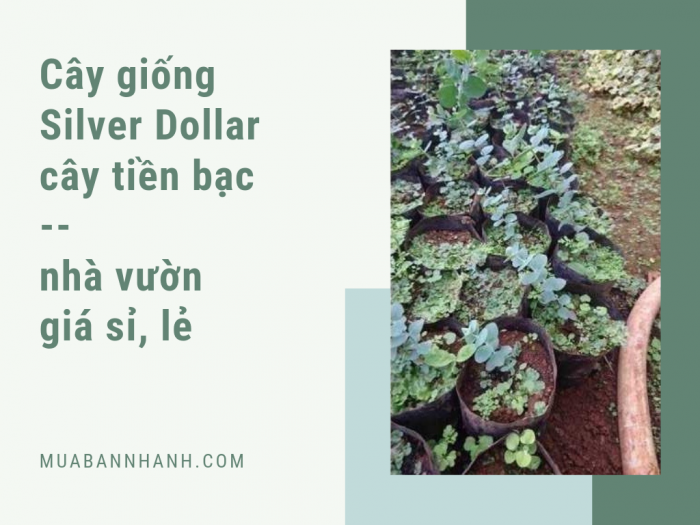 Bán cây silver dollar giá lẻ, giá sỉ từ nhà vườn trên MuaBanNhanh