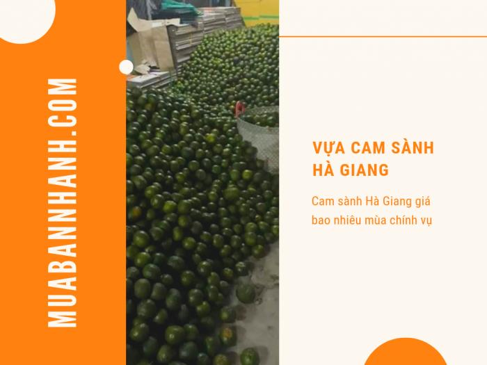 Vựa cam sành Hà Giang - cam sành Hà Giang giá bao nhiêu mùa chính vụ