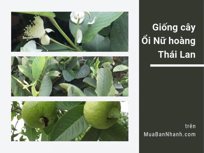 Bán cây ổi nữ hoàng Thái - cây giống ổi nữ hoàng ruột trắng không hạt, tư vấn cách trồng và chăm sóc từ trại giống cây ăn trái trên MuaBanNhanh
