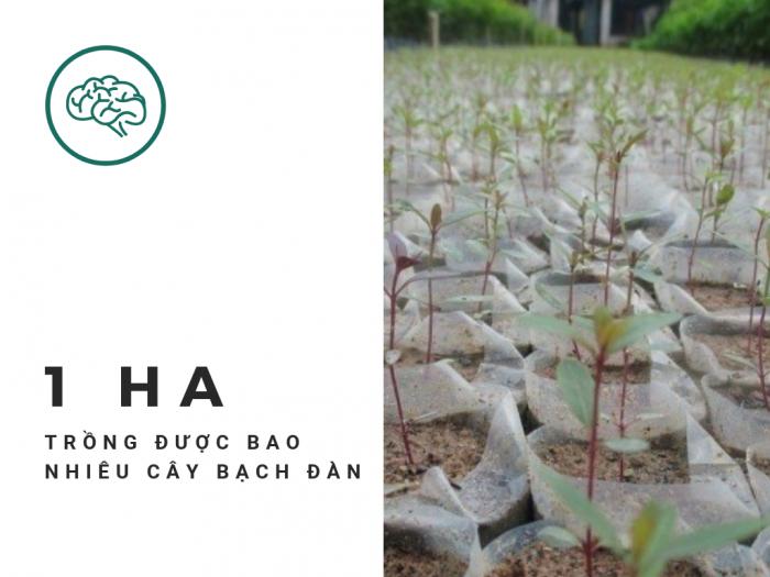 Hỏi 1 ha trồng được bao nhiêu cây bạch đàn, khoảng cách trồng cây bạch đàn - Tư vấn từ vườn ươm trên MuaBanNhanh