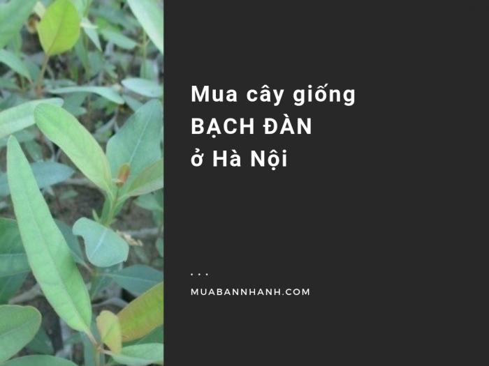 Mua cây giống bạch đàn ở Hà Nội trên MuaBanNhanh