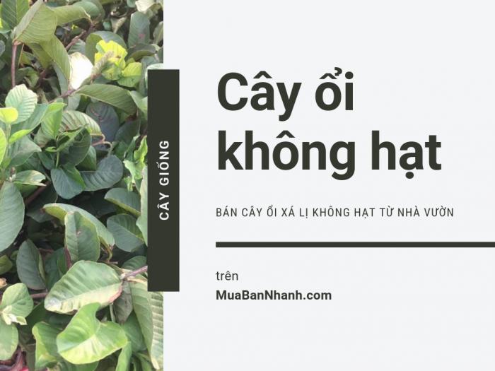 Báo giá cây ổi không hạt, bán cây ổi xá lị không hạt từ nhà vườn trên MuaBanNhanh
