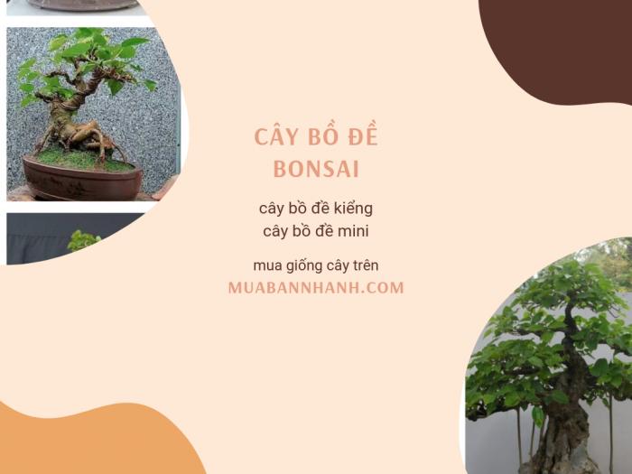 Giá cây bồ đề bonsai, cây bồ đề kiểng cây bồ đề mini TPHCM trên MuaBanNhanh