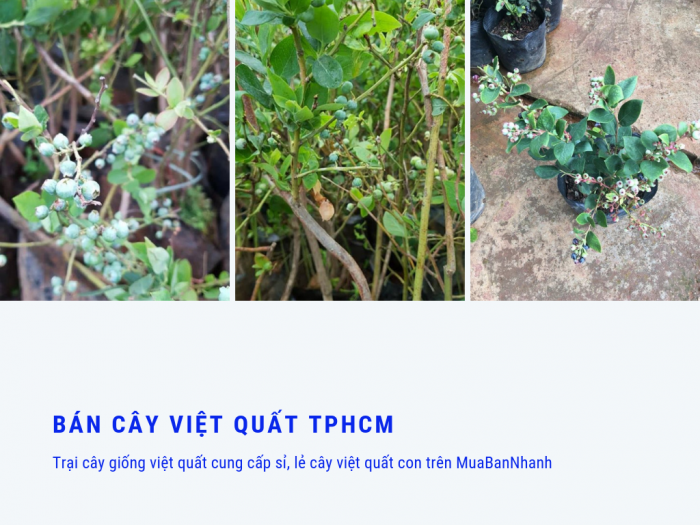 Bán cây việt quất TPHCM - trại cây giống việt quất cung cấp sỉ, lẻ cây việt quất con trên MuaBanNhanh