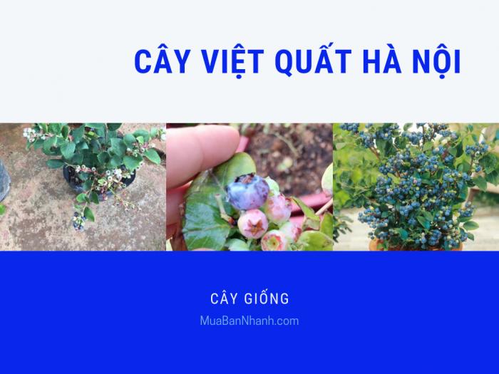 Bán cây việt quất Hà Nội - trung tâm giống cây trồng cung cấp cây giống việt quất Blueberry nhiệt đới