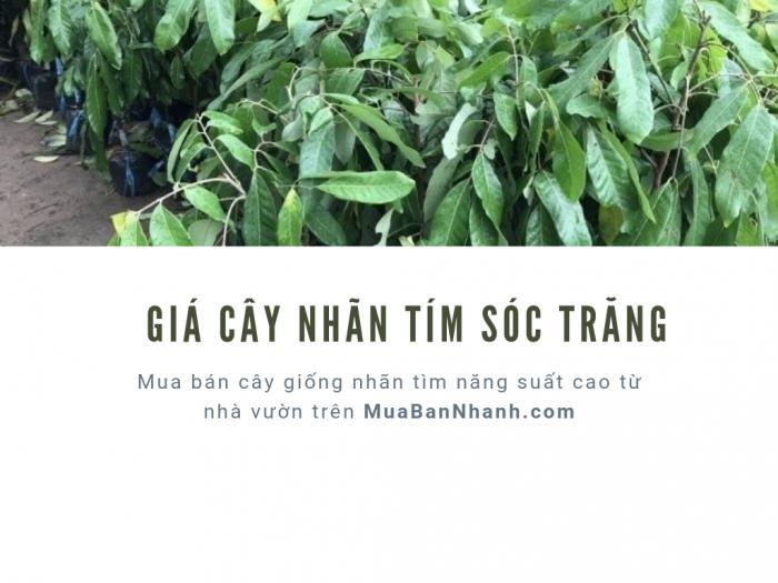 Giá cây giống nhãn tím Sóc Trăng - mua bán cây giống nhãn tím năng suất cao từ nhà vườn trên MuaBanNhanh
