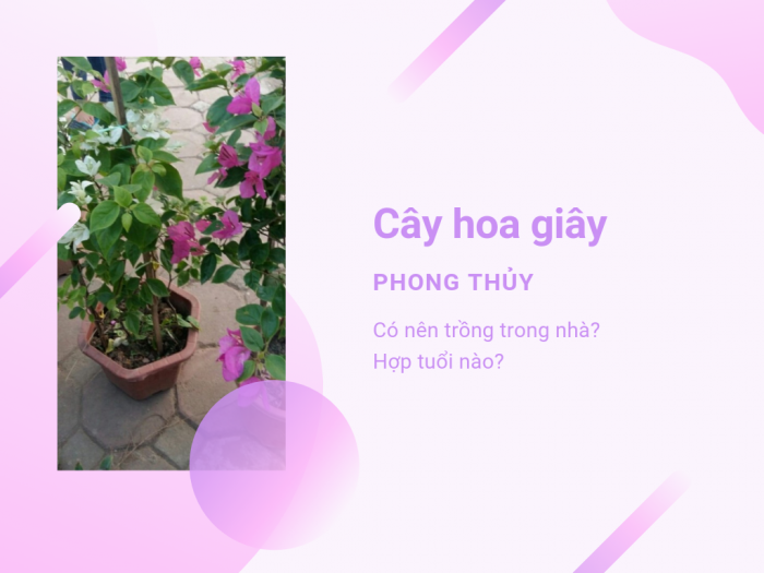 Địa chỉ mua cây hoa giấy trồng trong nhà trên MuaBanNhanh