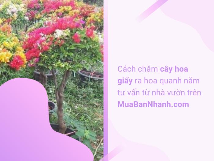 Nhà vườn bán cây hoa giấy ra hoa quanh năm trên MuaBanNhanh