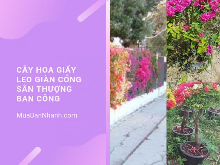 Mua cây hoa giấy leo giàn cổng, sân thượng, ban công trên MuaBanNhanh