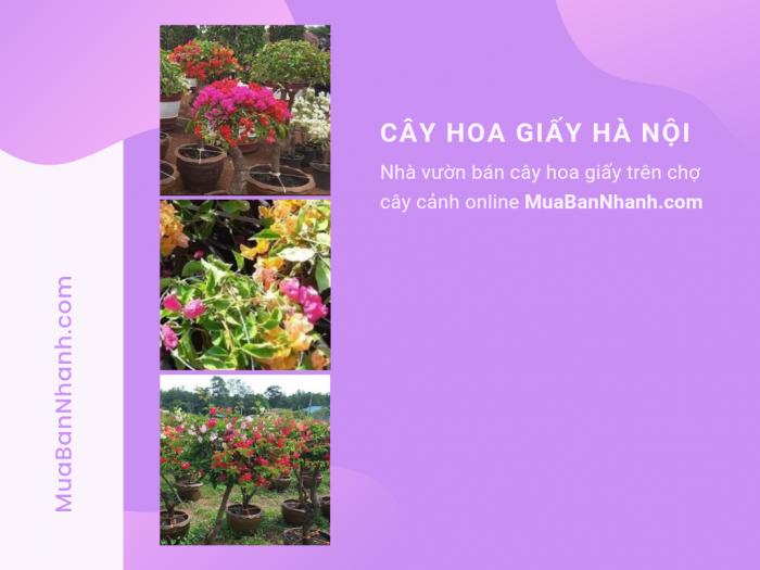 Mua cây hoa giấy tại Hà Nội trên MuaBanNhanh
