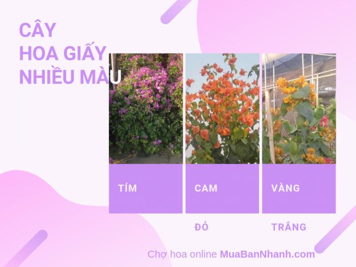 Bán cây hoa giấy nhiều màu: tím, cam, vàng, trắng, đỏ - Cây hoa giấy 5 màu từ chợ hoa online MuaBanNhanh