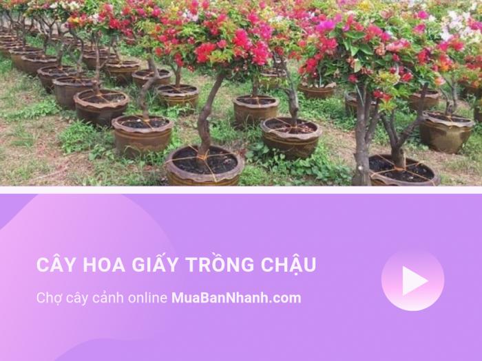 Tìm mua cây hoa giấy chồng chậu trên MuaBanNhanh