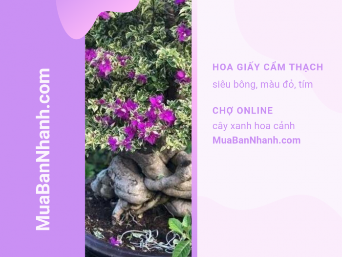 Giá cây hoa giấy cẩm thạnh đỏ, tím trên MuaBanNhanh