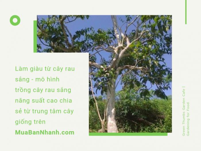 Giống cây rau sắng năng suất cao trên MuaBanNhanh