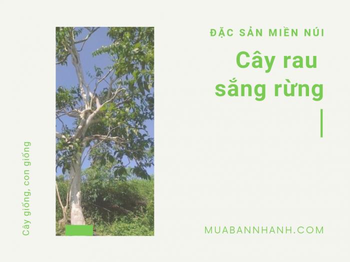 Cây rau sắng rừng trên MuaBanNhanh