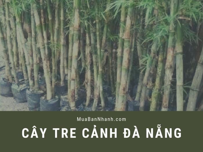Mua cây tre cảnh trong nhà ở đâu? Địa chỉ mua cây tre ở Đà Nẵng từ cộng đồng các công ty cây xanh online trên MuaBanNhanh