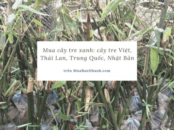 Mua cây tre xanh: cây tre Việt, Thái Lan, Trung Quốc, Nhật Bản trên MuaBanNhanh