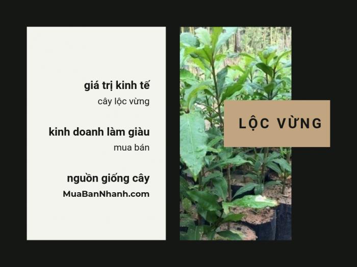 Nguồn cây giống lộc vừng trên MuaBanNhanh