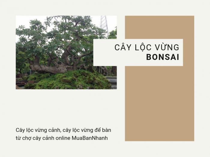 Giá bán cây lộc vừng bonsai, cây lộc vừng cảnh, cây lộc vừng để bàn từ chợ cây cảnh online MuaBanNhanh