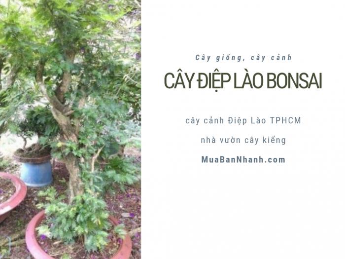 Bán cây Điệp Lào bonsai, cây cảnh Điệp Lào TPHCM từ nhà vườn cây kiểng MuaBanNhanh