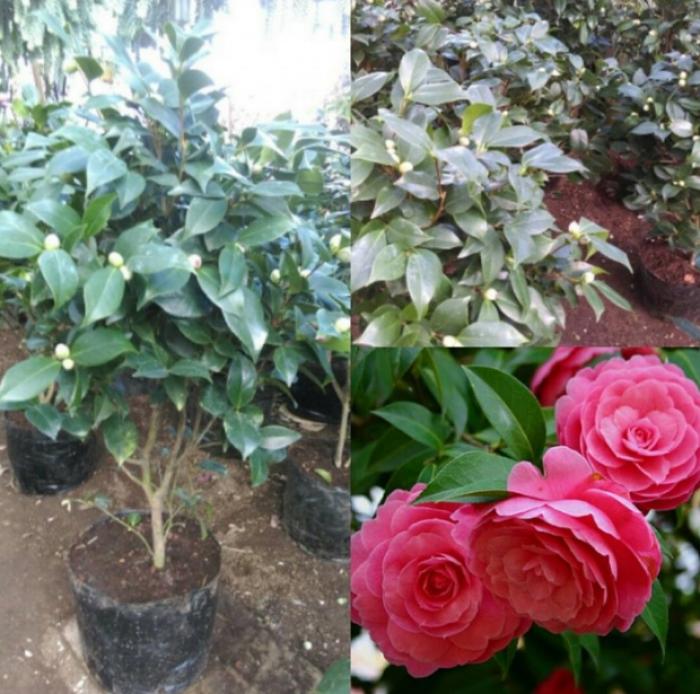 hoa trà đỏ