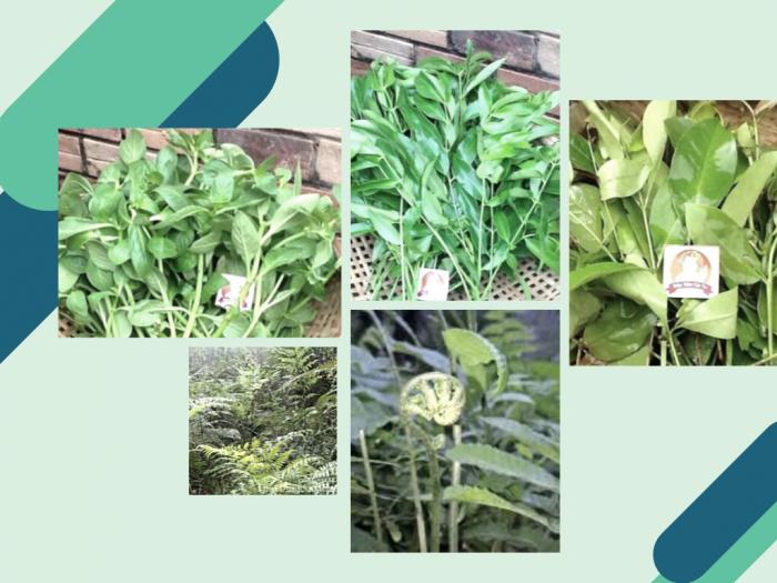 Làm giàu từ trồng rau rừng - mô hình trồng rau rừng xen canh Bình Phước
